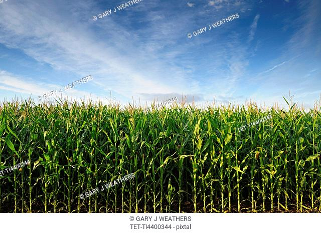 USA, Oregon, Marion County, Corn field