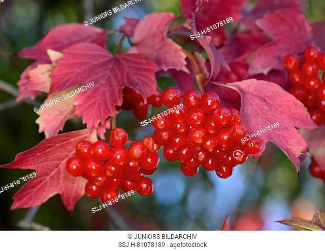 European Cranberry Bush, Snowball Tree, Guelder Rose (Viburnum opulus). Twig with ripe berries in autumn, Germany