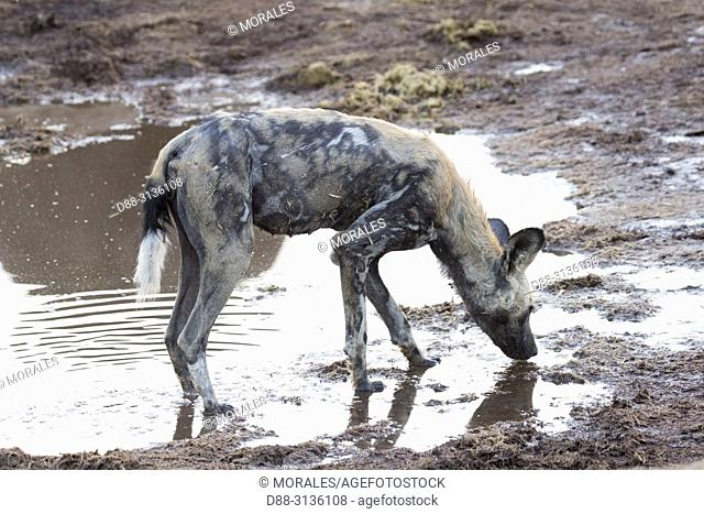 Africa, Southern Africa, Bostwana, Moremi National Park, African wild dog or African hunting dog or African painted dog (Lycaon pictus), adults in a water hole