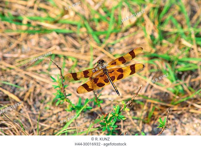 Halloween pennant, Celithemis eponia, Libellulidae, dragonfly, insect, animal, Everglades National Park, Florida