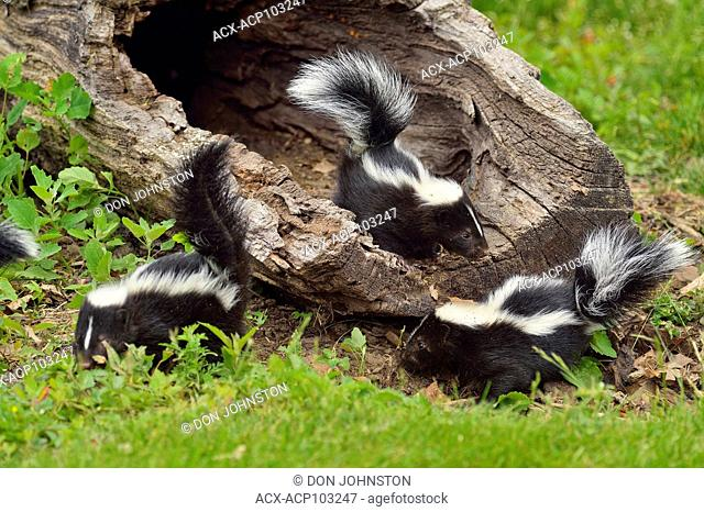Striped Skunk (Mephitis mephitis) Babies, captive raised, Minnesota wildlife Connection, Sandstone, Minnesota, USA