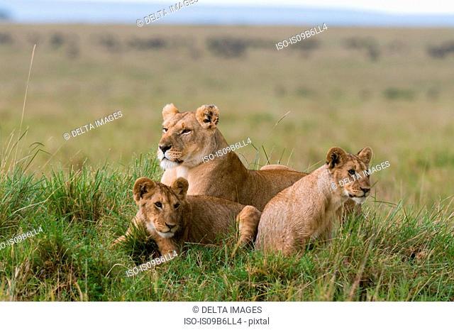 Lioness and cubs (Panthera leo), Masai Mara National Reserve, Kenya