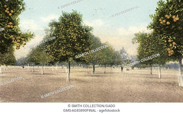Postcard showing trees in an orange grove, Florida, 1914. From the New York Public Library
