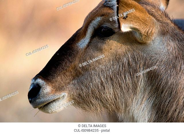 Head shot of waterbuck (Kobus ellipsiprymnus), Khwai concession, Okavango delta, Botswana