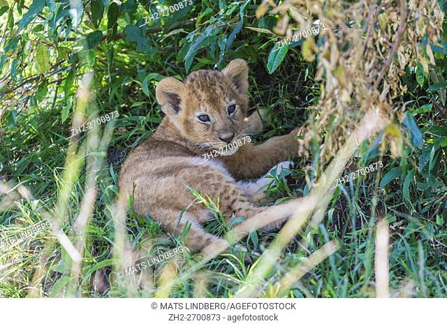 Young lion cub lying under a tree and resting, Masai Mara, Kenya, Africa