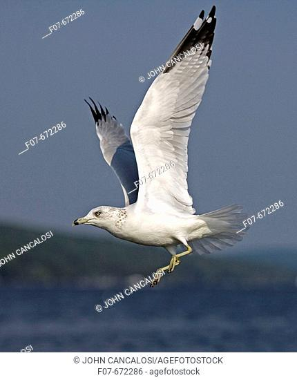 Ring-billed Gull (Larus delawarensis). New York. USA. Adult flying over lake. Most commonly seen gull. Especially inland