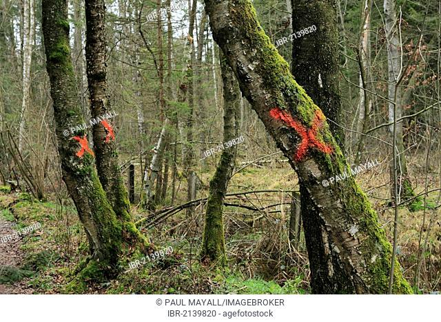 Old Birch trees (Betula) marked with red X crosses for felling in Bavarian forest, Chiemgau Upper, Bavaria, Germany, Europe