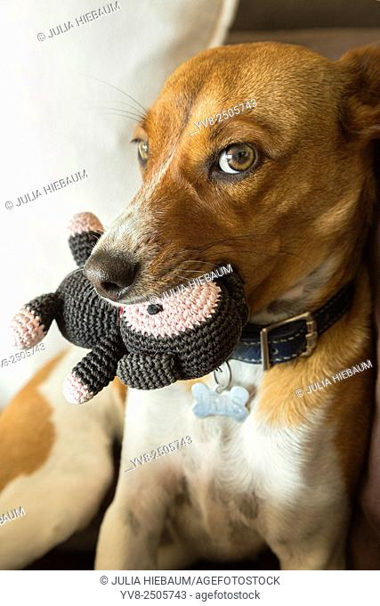 Mixed breed puppy biting her toy
