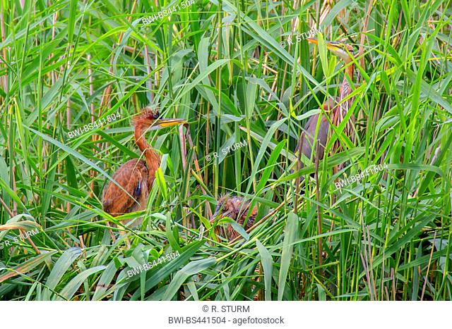 purple heron (Ardea purpurea), adult with two squeakers in a nest, Germany, Bavaria