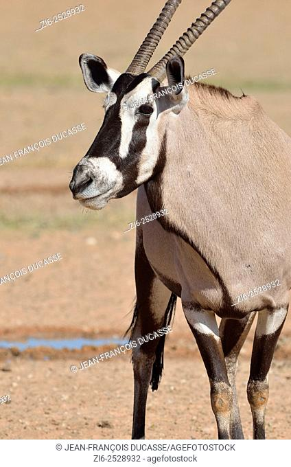 Gemsbok (Oryx gazella), standing at a waterhole, Kgalagadi Transfrontier Park, Northern Cape, South Africa, Africa