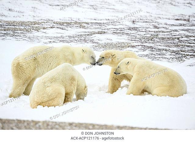 Polar Bear (Ursus maritimus) Group Interaction along Hudson Bay coast