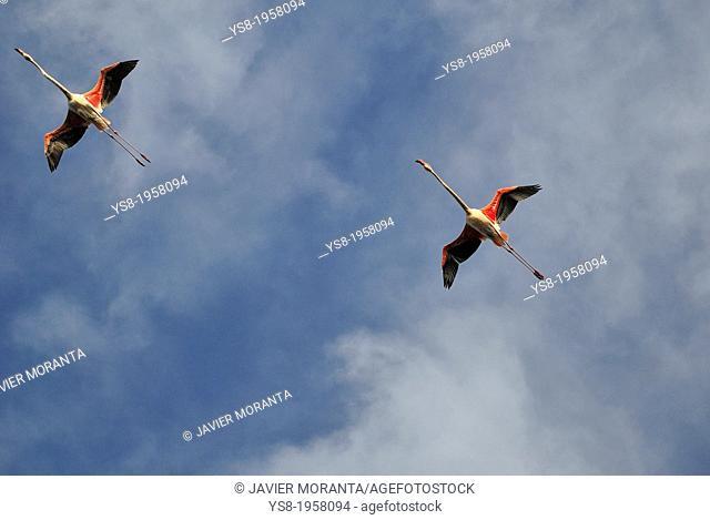 Flamingos flying, Mallorca, Balearic Islands, Spain