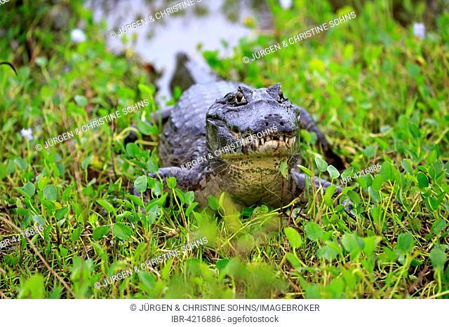 Yacare caiman (Caiman Yacare), adult, on land, the Pantanal, Mato Grosso, Brazil