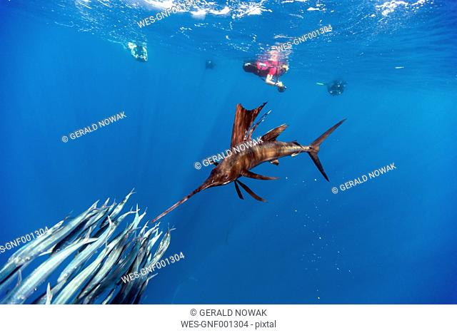 Mexico, Yucatan, Isla Mujeres, Caribbean Sea, Indo-Pacific sailfish, Istiophorus platypterus, hunting sardines, Sardina pilchardus, divers in the background