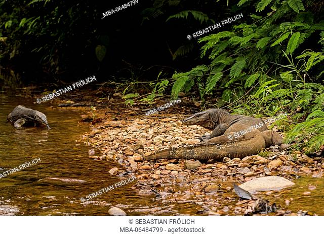 A Waran in the Gunung Leuser national park on Sumatra / Indonesia, goes along licking a stream course. Always in search of prey or cadaver