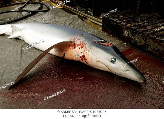 Dead blue shark, Prionace glauca, offshore commercial longline shark fishing, Brazil, Atlantic Ocean