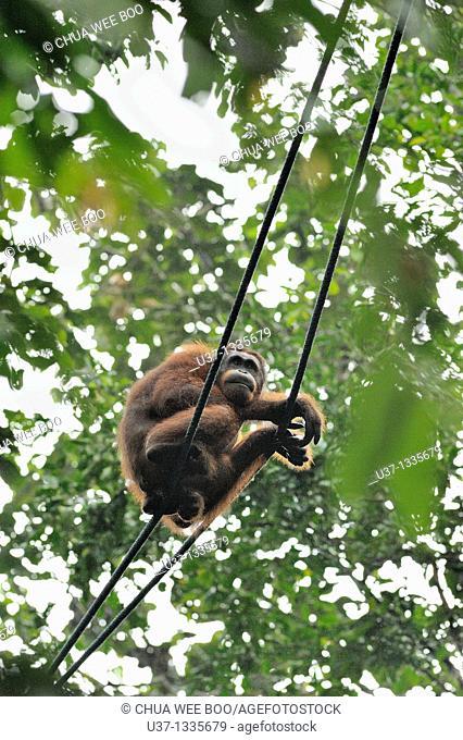 Orangutan. Semengoh Wildlife Centre, Sarawak, Malaysia