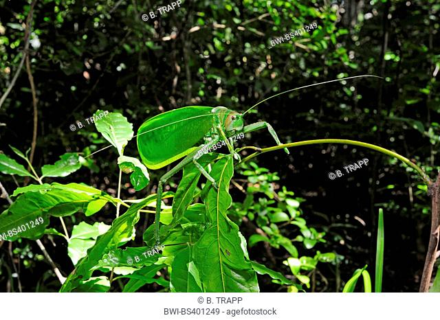 bush cricket (Stilpnochlora cf. couloniana ), sitting on a leaves in the tropical rainforest, New Caledonia, Ile des Pins