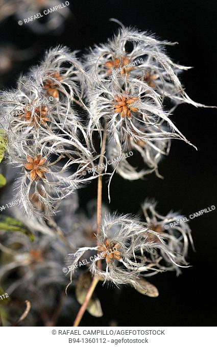 Old man's beard (Clematis vitalba). Osseja, Pyrenees-Orientales, Languedoc-Roussillon, France
