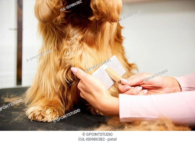 Hands of female groomer brushing cocker spaniel at dog grooming salon