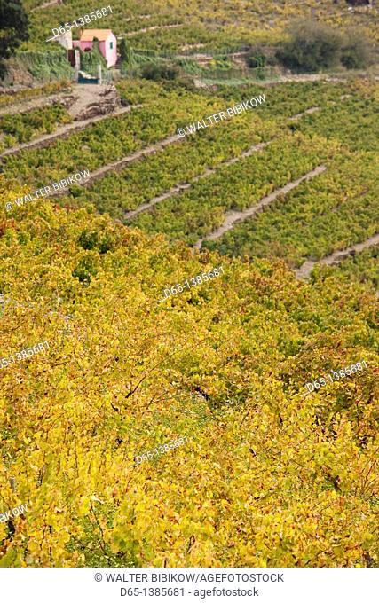 France, Languedoc-Roussillon, Pyrennes-Orientales Department, Vermillion Coast Area, Collioure, vineyards