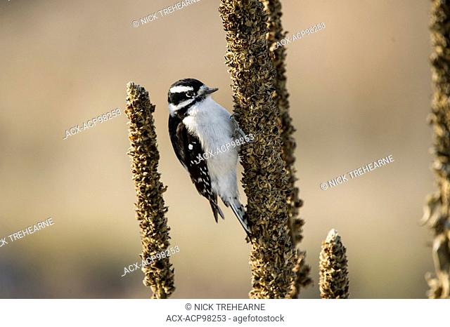 Dryobates pubescens, downy woodpecker, Montana, United States