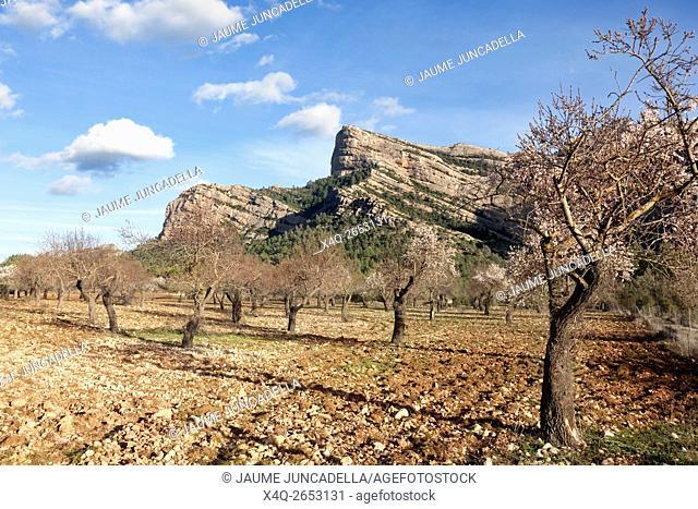 Almonds blossom in Matarranya. Teruel