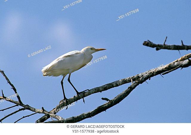 Cattle Egret, bubulcus ibis, Adult standing on Branch, Kenya
