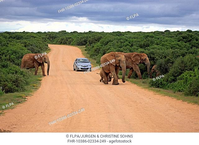 African Elephant (Loxodonta africana) adult females and calves, herd crossing road with car, Addo Elephant N.P., Eastern Cape, South Africa, December
