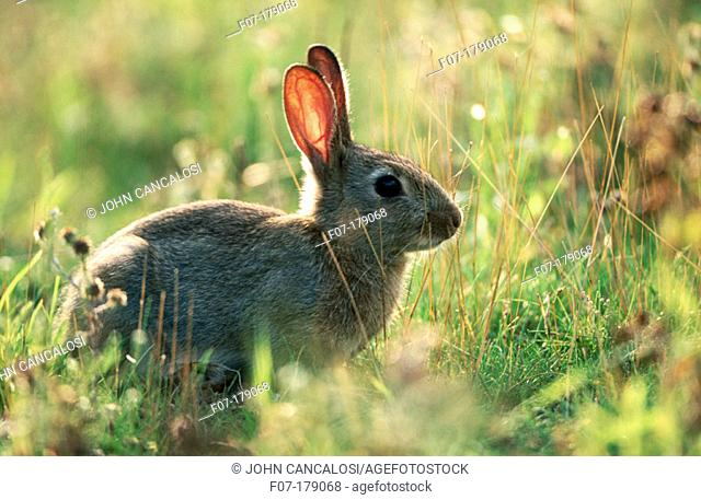 European rabbit (Oryctolagus cuniculus). England