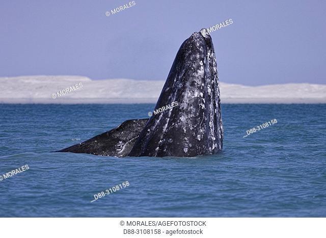 Central America, Mexico, Baja California Sur, Puerto San Carlos, Magdalena Bay (Madelaine Bay), Gray Whale (Eschrichtius robustus), mother and baby