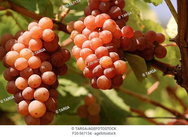 Traminer grapes. Cantina di Termeno. Cantina Sociale vineyards. Alto Adige. Italy