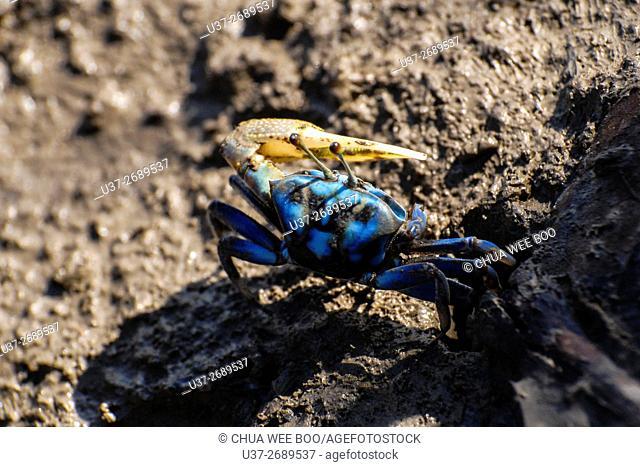 Small Crab. Image taken at Sungai Apong riverbank, Kuching, Sarawak, Malaysia
