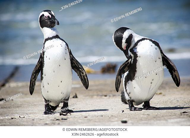 Betty's Bay, South Africa - African Penguins (Spheniscidae) by the water
