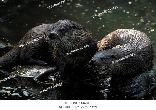Two otters resting on rocks