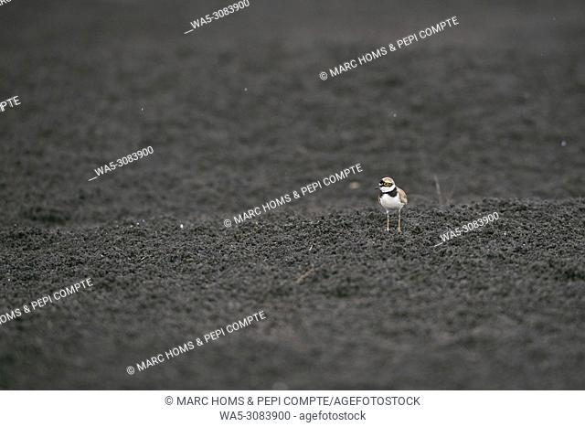 Little ringed plover on a black sand under the rain in Garrotxa, Catalonia, Spain