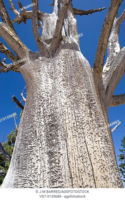 Great Basin bristlecone pine (Pinus longaeva) is a coniferous tree very long-lived (more than 5,000 years). Dead specimen