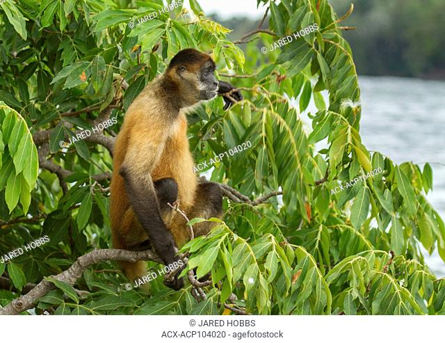 Spider Monkey, Ateles geoffroyi, Central America, Costa Rica