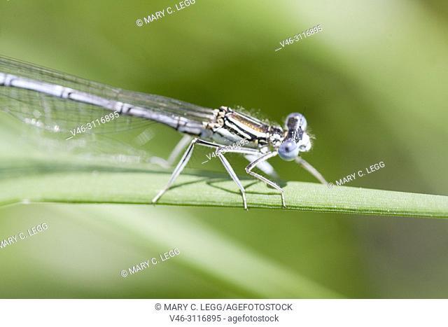 Male White-legged Damselfly, Platycnemis pennipes