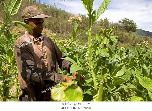 Dominican Republic - Centre - The Cibao - Tobacco Valley - Plantation - Picking up leaves