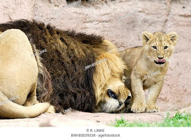 lion (Panthera leo), male spooning with a cub