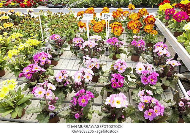 Display of bright polyanthus plants Ladybird Nurseries garden centre, Gromford, Suffolk, England, UK - Polyanthus Stella Pink Champagne