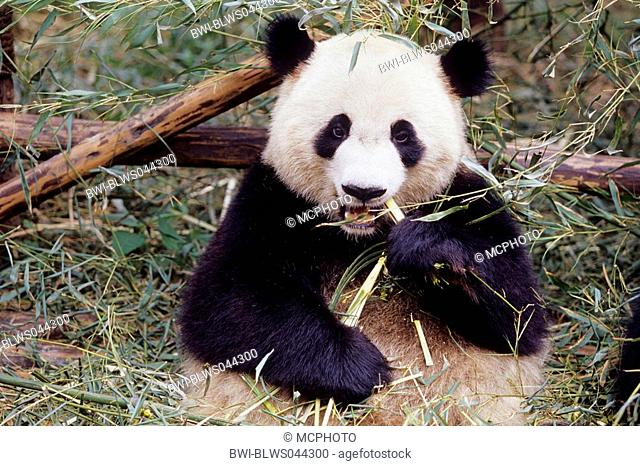 giant panda Ailuropoda melanoleuca, two years old panda feeding bamboo in the research station of Wolong, national animal of China, China, Sichuan, Wolong