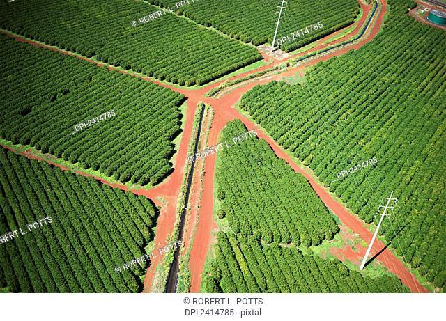 Coffee trees grow on Kauai; Port Allen, Kauai, Hawaii, United States of America