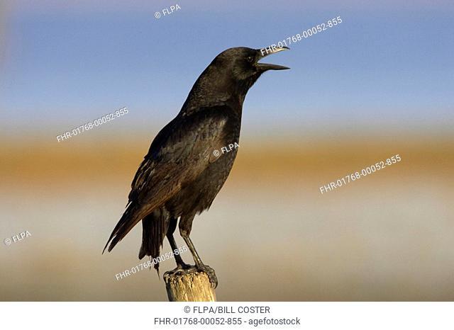American Crow Corvus brachyrhynchos adult, calling, perched on post, Lake Kissimmee, Florida, U S A