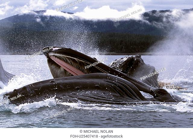Humpback Whale Megaptera novaeangliae Adults cooperatively bubble-net feeding. Chatham Strait, Southeast Alaska, USA