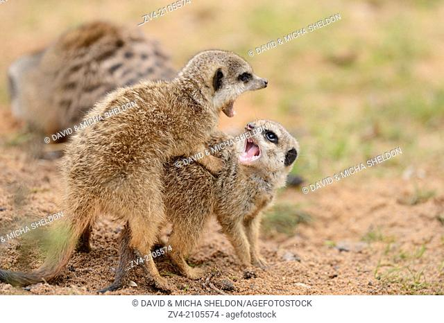 Close-up of two little meerkat or suricate (Suricata suricatta) babies playing