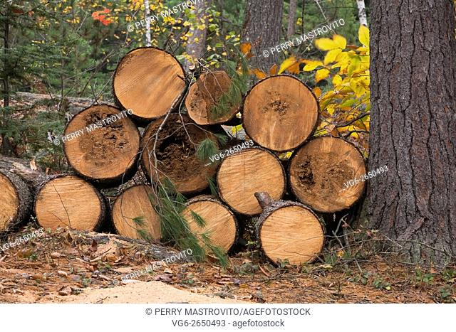 Pile of cut red pine (Pinus) timber logs on the ground in a forest in autumn, Rawdon, Lanaudiere, Quebec, Canada