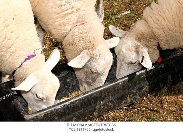 Three sheep feeding from a trough in the Uk