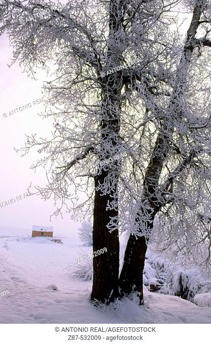 Frozen White Poplar (Populus alba), Almansa. Albacete, Castilla-La Mancha, Spain